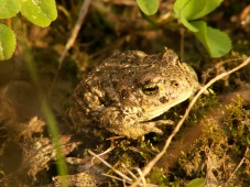 Toad hiding in leaves